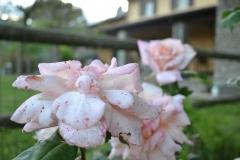 Rose a Selvapiana