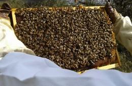 Telaino pieno di api